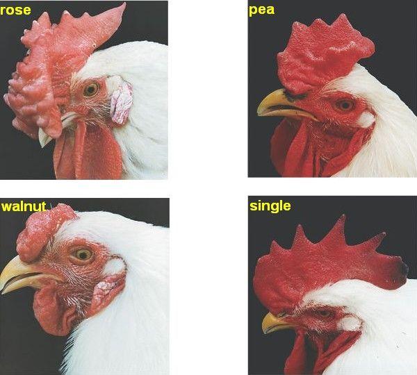 Jenis Jengger Ayam