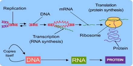 Diagram Sintesis Protein