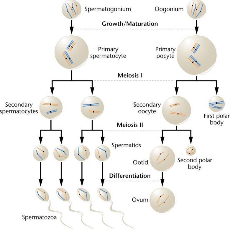 Spermatogenesis dan Oogenesis