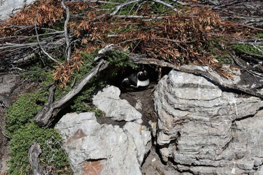 stony-point-penguins-betty-bay