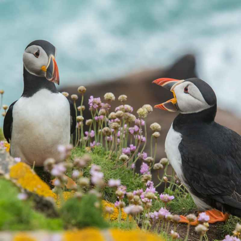 two puffins communicating