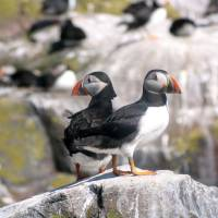 Puffins and Coquet Island - Summer Wildlife Spectacle
