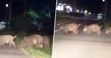 Invazija divljih svinja na Beograd