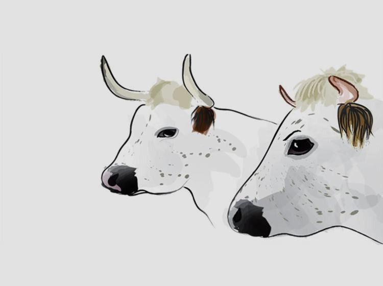 Cow illustration for Baylham House