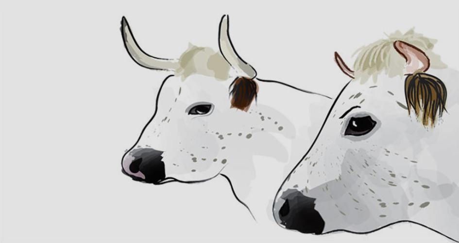 Cow illustration for Baylham House