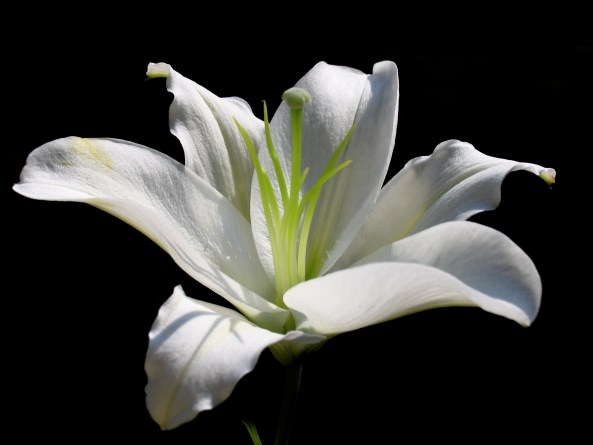 918525-white-lily-flower