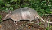 Channelling your inner armadillo...