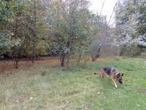 Myschka following her sister's scent on her walk