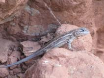 A lizard lounges in Palo Duro Canyon.