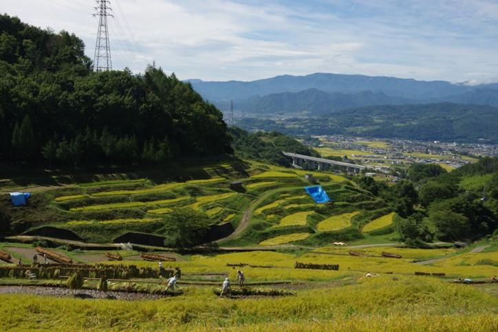 「稲倉の棚田」 撮影者:石川公康 撮影地:長野県上田市・稲倉棚田 撮影日:2016 年9 月25日<BR>稲刈りの時期に当たりましたので、多くの子供たちが 稲刈りに参加していました。この棚田の場所から車で10分くらいで、現在放映している「真田丸」の真田家ゆかりの 場所が点在しており観光客も多く訪れていました