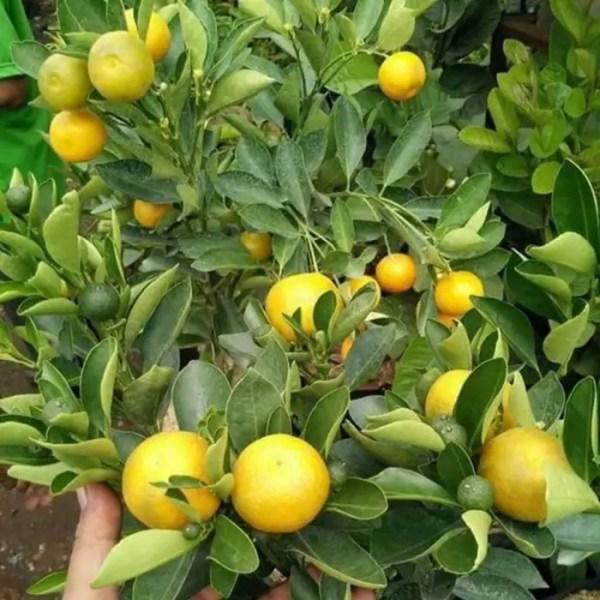 jeruk kip