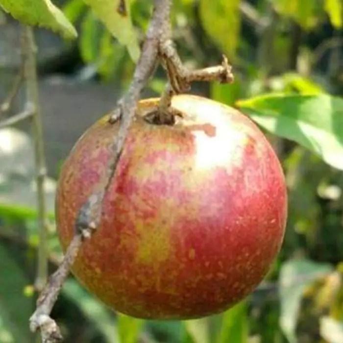 pohon plum1