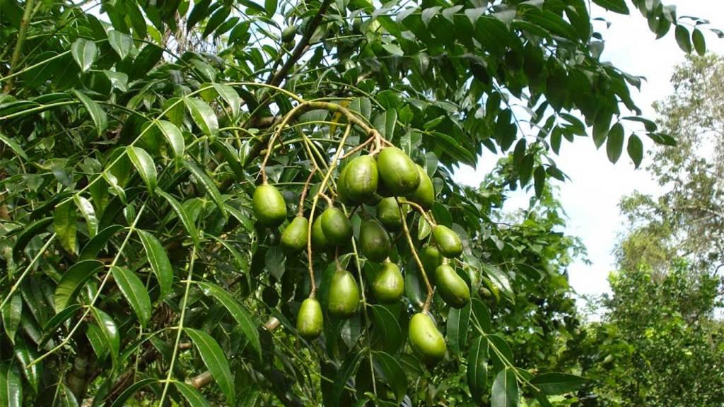 pohon buah kedondong