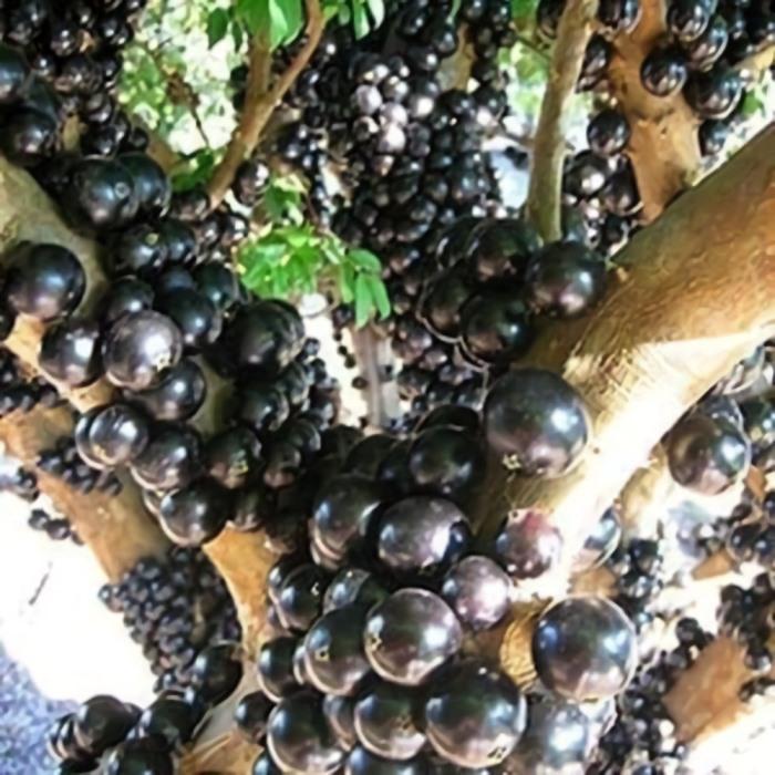 bibit anggur brazil preco
