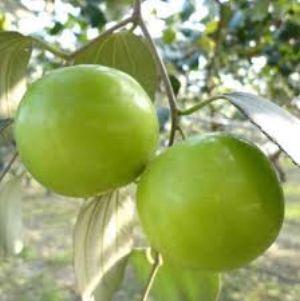 bibit apel india