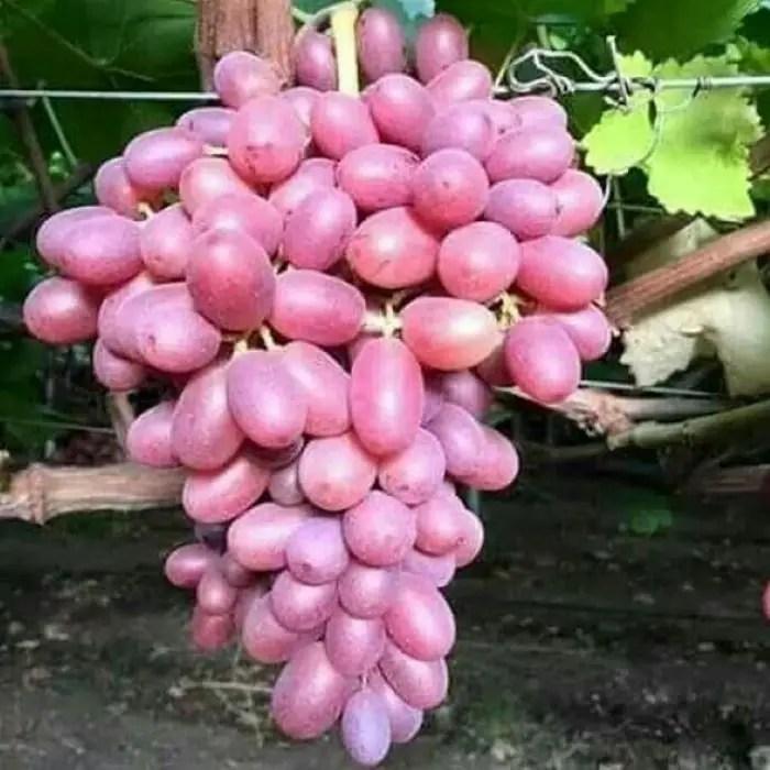 harga bibit anggur dubovsky pink