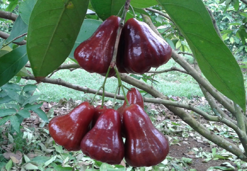 bibit buah Jambu Black diamond