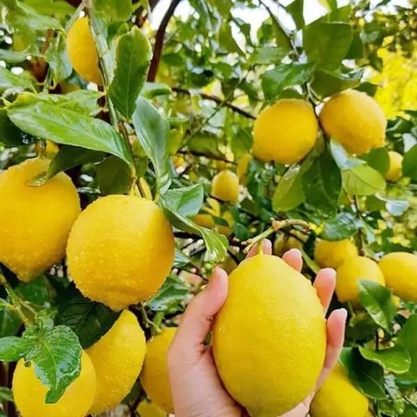 jual bibit jeruk lemon california