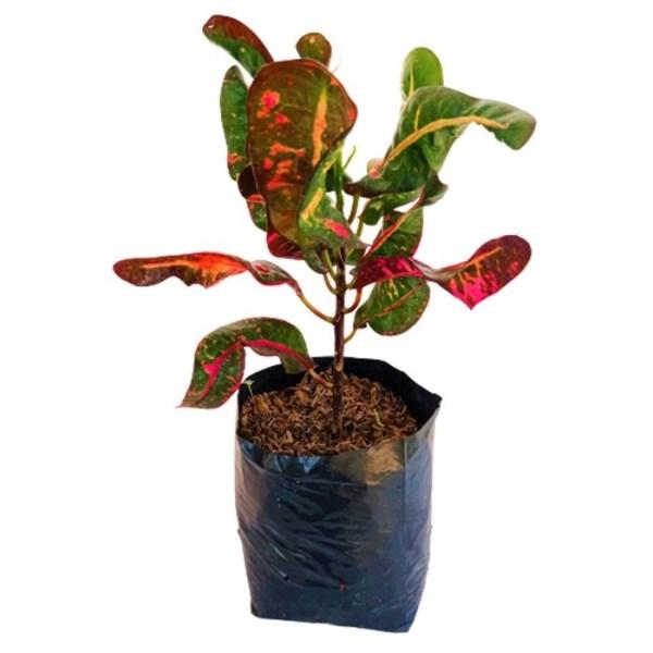 tanaman puring cakwe