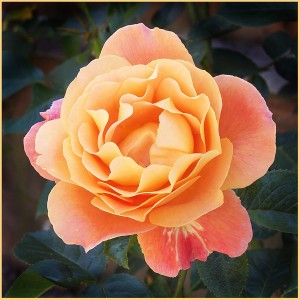 Colin Bradfield Peachy Bloom Rose
