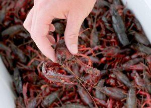 south, crawfish, red