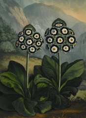 flowers Brit. Mus.