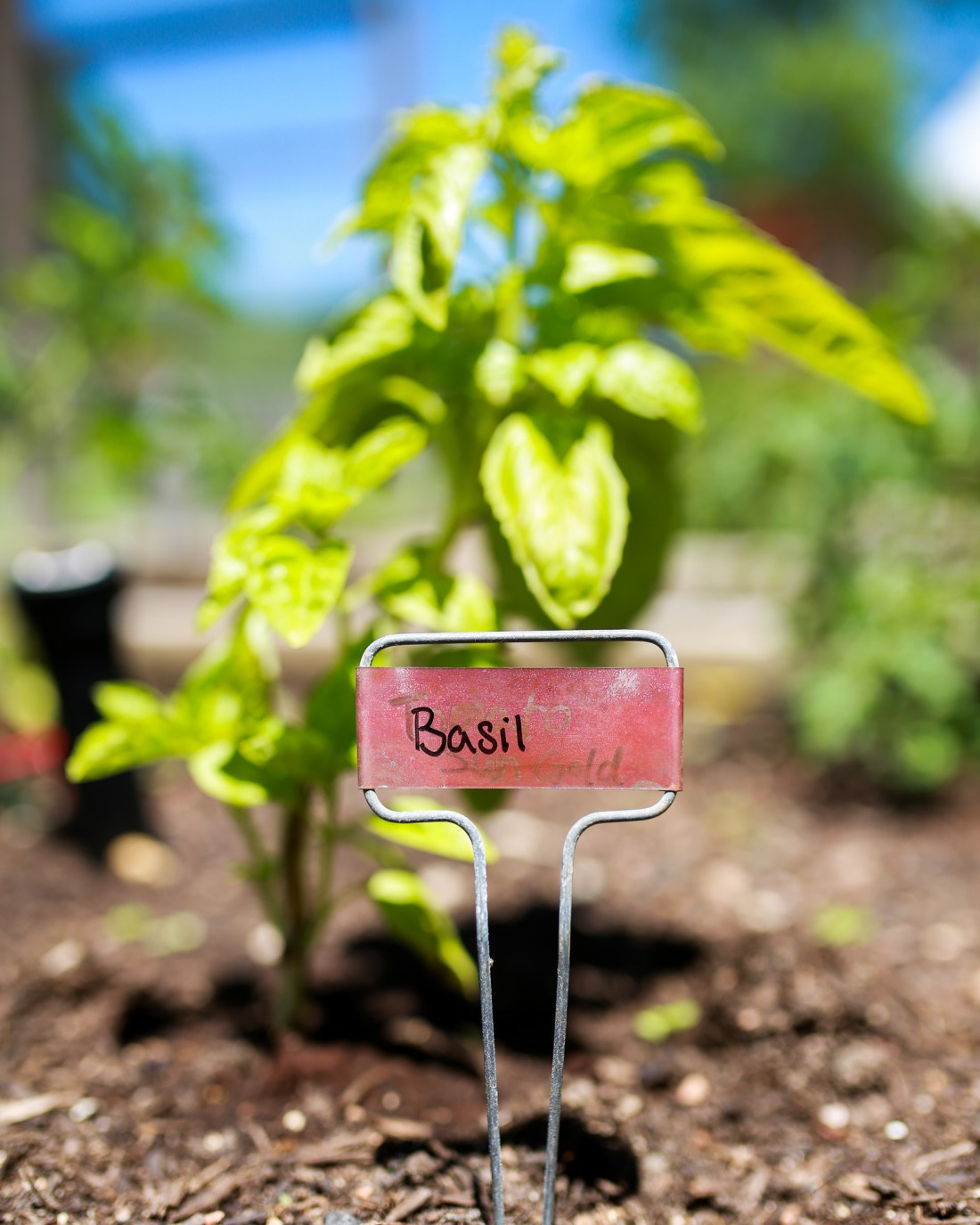 Fresh basil and why you should grow it in your garden
