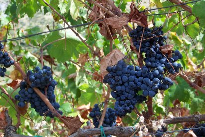 Croatia Vineyard