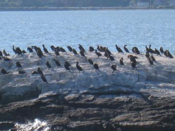 Casco Bay Wildlife