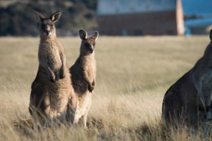 Eastern Grey Kangaroos Maria Island Walk 2014