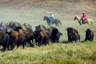 BuffaloRoundUp