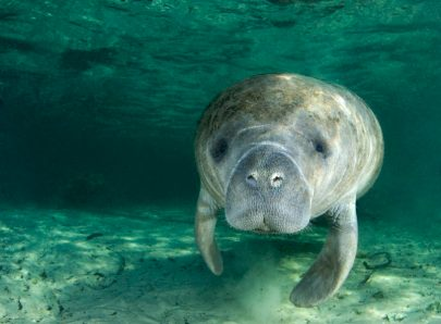 Blue-Spring-is-a-designated-manatee-refuge-and-the-winter-home-to-a-growing-population-of-West-Indian-Manatees.--815x600