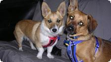 Roxy and Rigby In EzyDog & CanineCovers