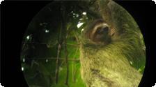 a photogenic three-toed sloth