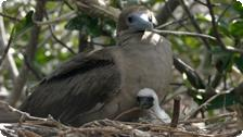 Baby Red Footed Booby.