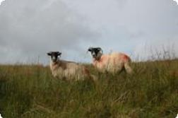 Irelands Sheep