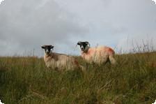 Irelands Sheep