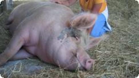 Pig appreciation