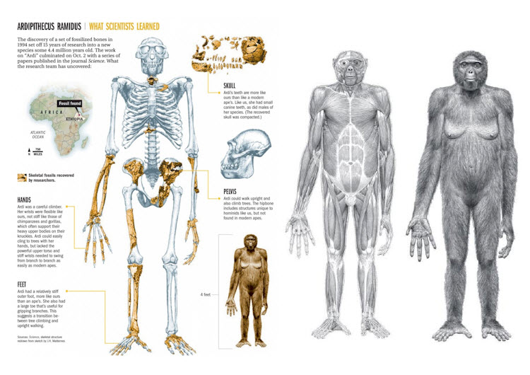 Primates Knuckle Walking