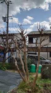 サルスベリの木剪定