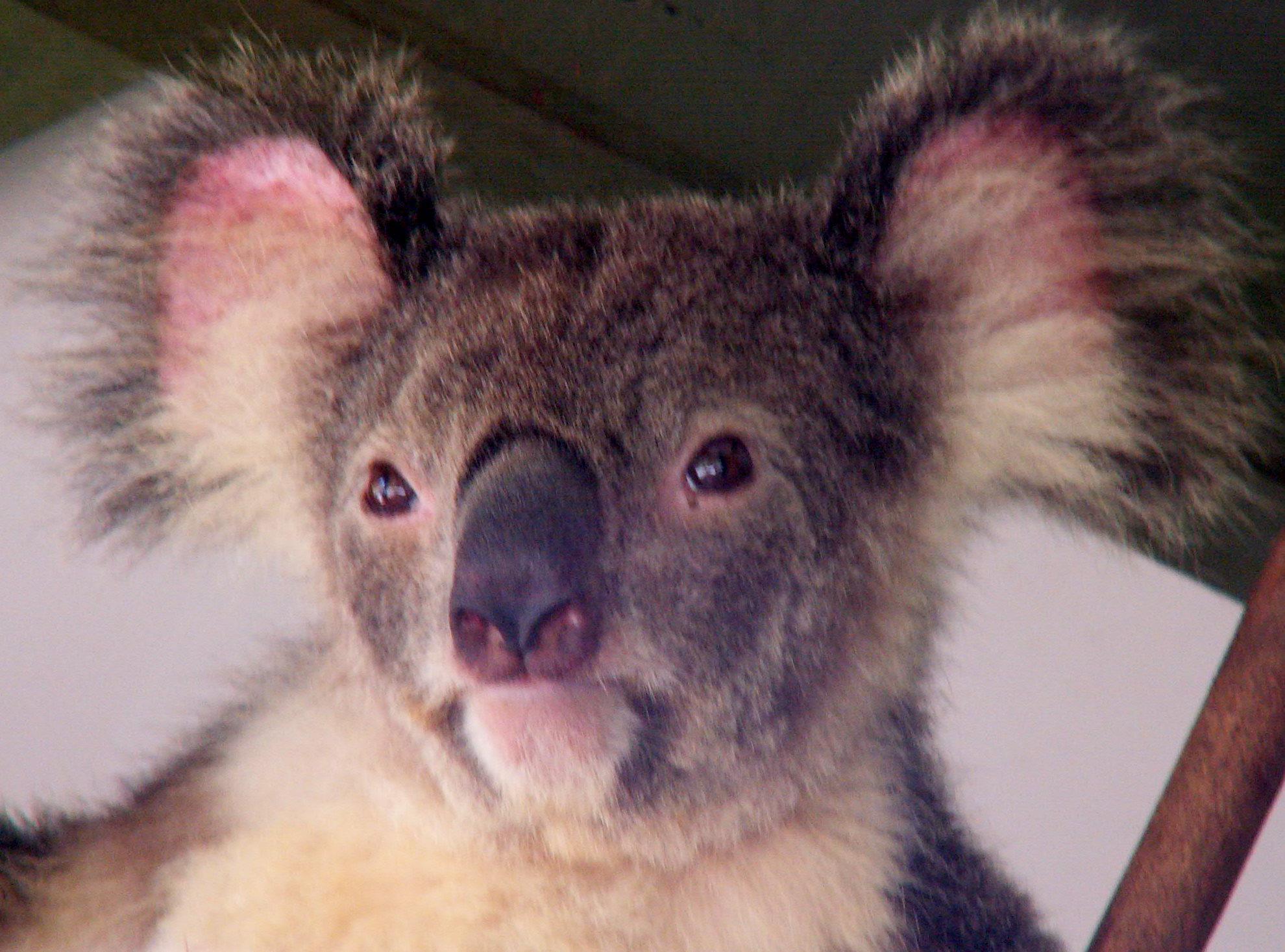 Koala på Lone Pine Sanctuary