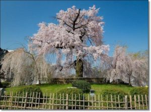 円山公園桜見頃
