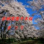 赤城南面千本桜まつり2019の見頃や見どころ!穴場の駐車場も調査!