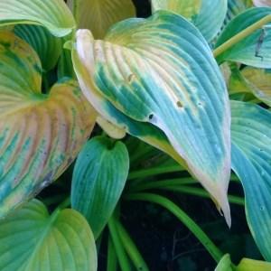 Hosta får nydelige høstfarger på bladene