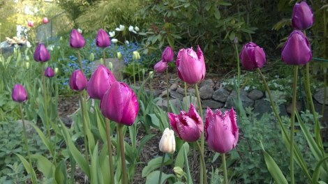 Tidlig tulipanblomstring