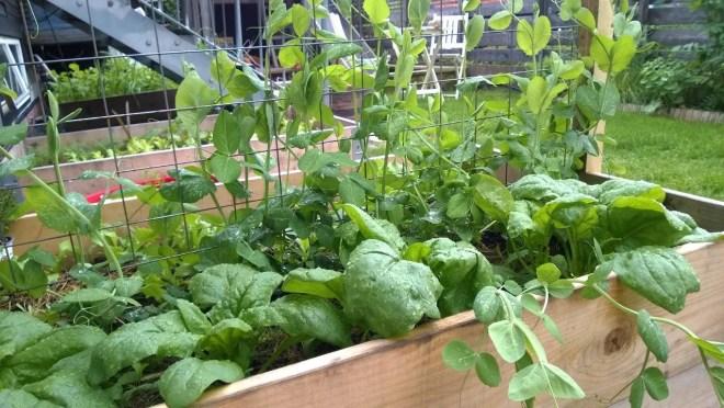 Spinat og sukkererter trives godt i de nye pallekarmene