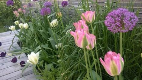 Sammenplanting av tulipaner, allium og gress