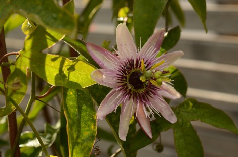 Pasjonsblomst Passiflora x violaceae
