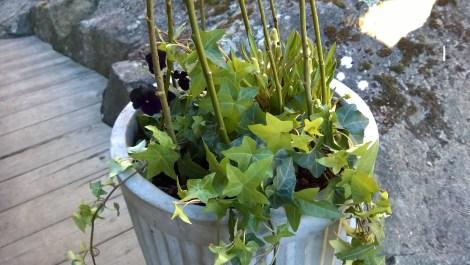 Vårblomster i krukke. Sammenplanting. Plantekombinasjoner