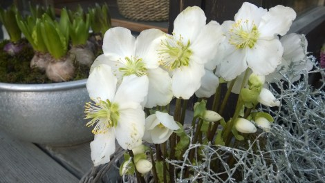 Sammenplanting i krukke som lyser opp i vintermørket. Hvit julerose kombinert med sølvgrå Calosephalus skaper julestemning